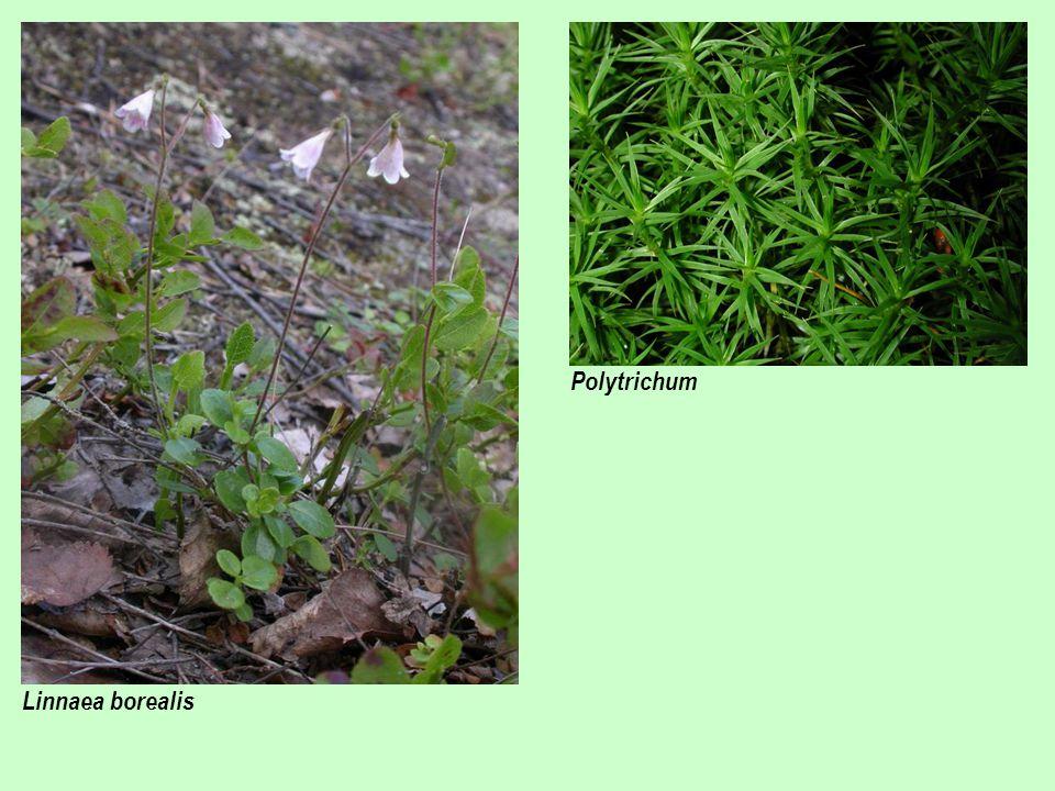 Polytrichum Linnaea borealis