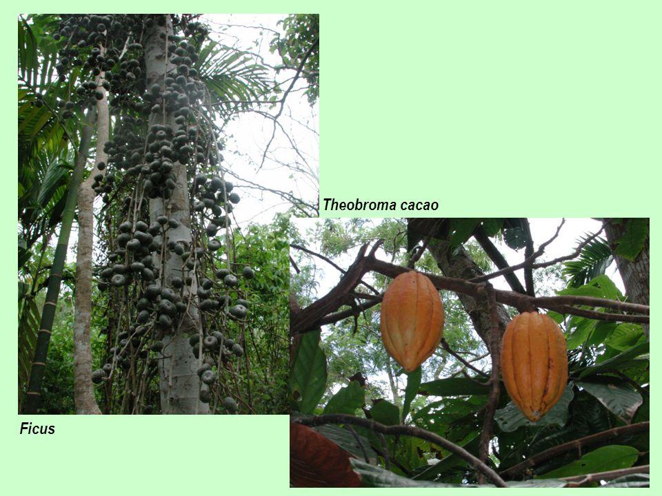 Ficus Theobroma cacao