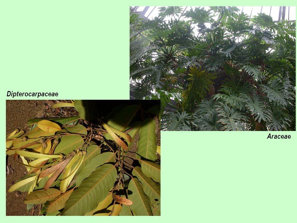 Dipterocarpaceae Araceae