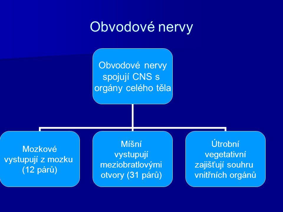 Obvodové nervy spojují CNS s orgány celého těla Mozkové vystupují z mozku (12 párů) Míšní vystupují meziobratlovými otvory (31 párů) Útrobní vegetativ