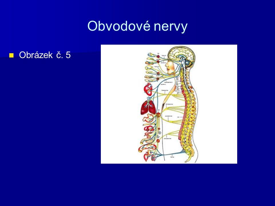 Obvodové nervy Obrázek č. 5
