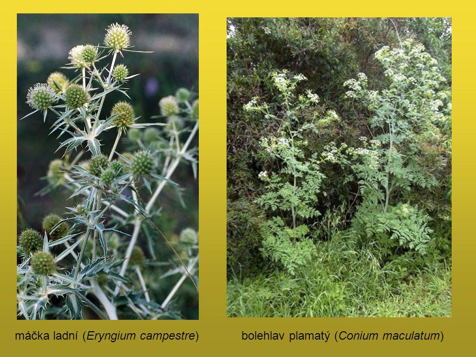 máčka ladní (Eryngium campestre)bolehlav plamatý (Conium maculatum)