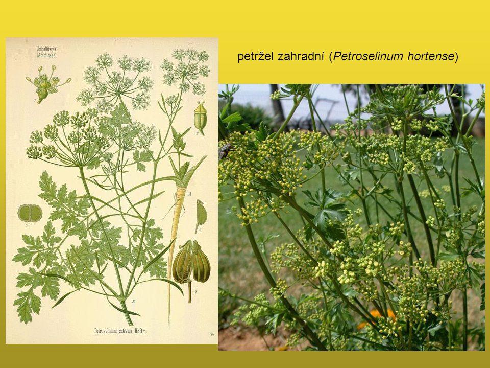 petržel zahradní (Petroselinum hortense)