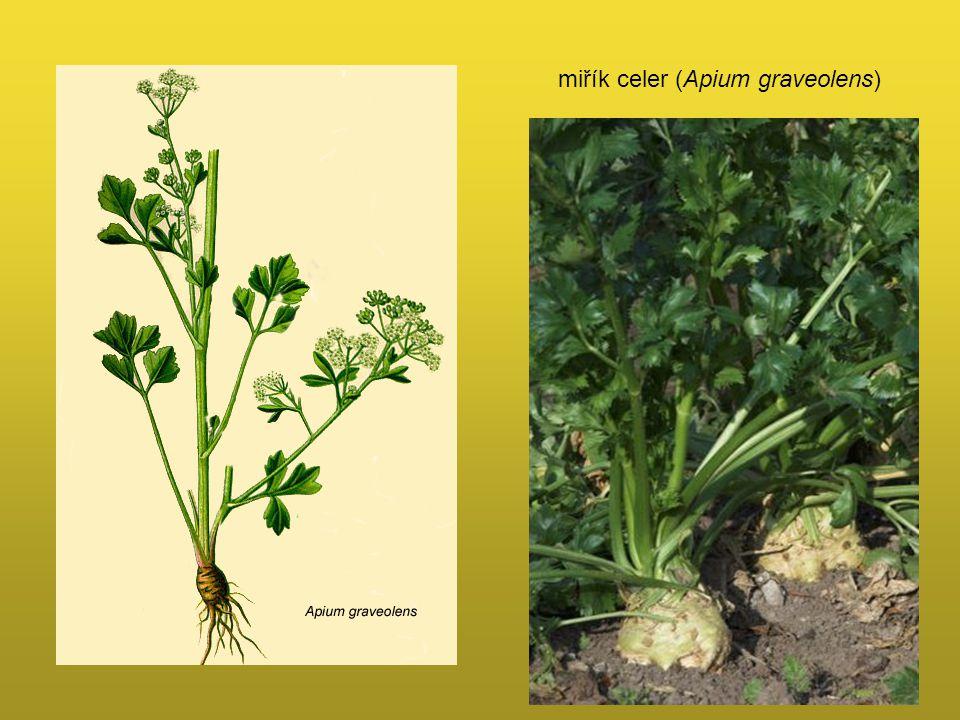 miřík celer (Apium graveolens)