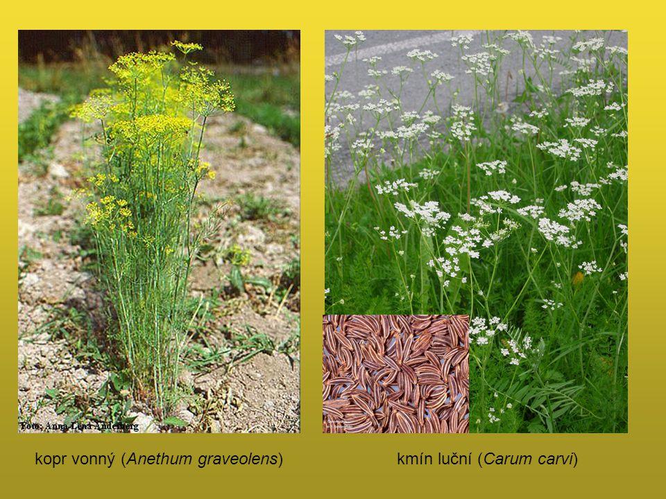 kopr vonný (Anethum graveolens)kmín luční (Carum carvi)
