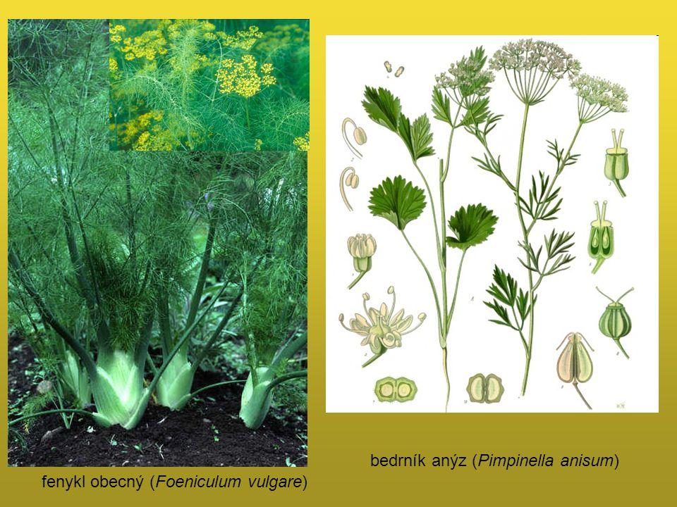 fenykl obecný (Foeniculum vulgare) bedrník anýz (Pimpinella anisum)