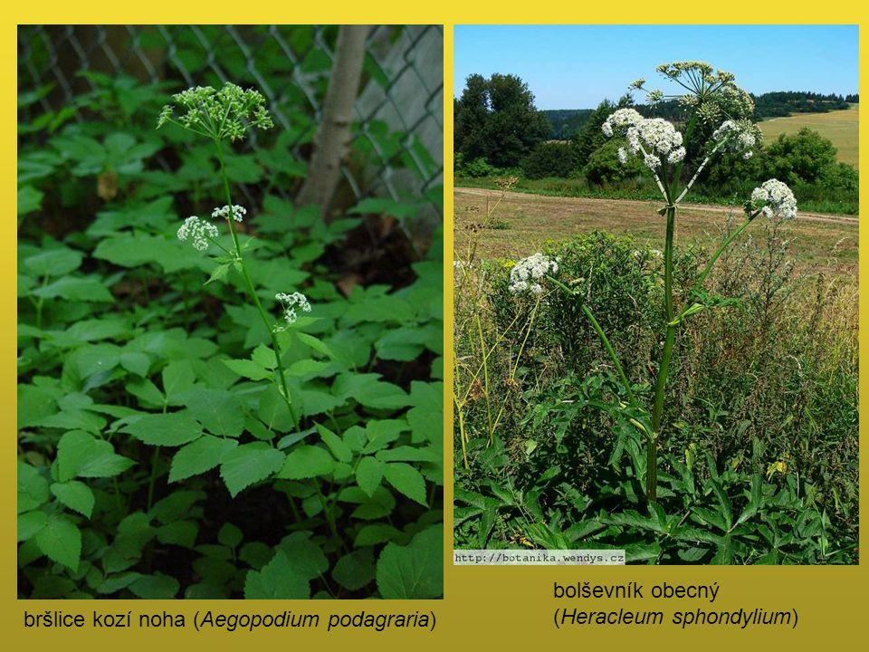 bršlice kozí noha (Aegopodium podagraria) bolševník obecný (Heracleum sphondylium)