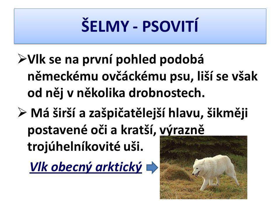  Vlk se na první pohled podobá německému ovčáckému psu, liší se však od něj v několika drobnostech.  Má širší a zašpičatělejší hlavu, šikměji postav