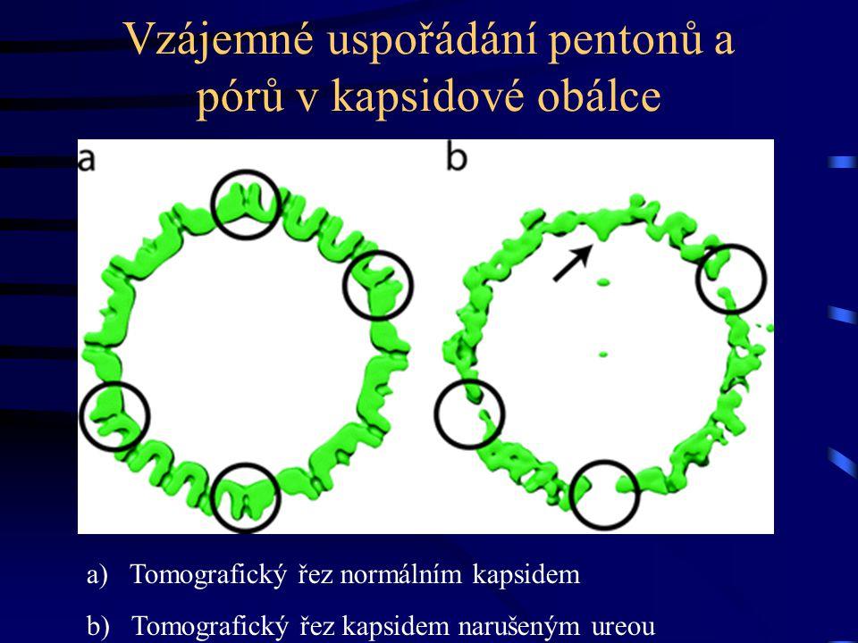 Vzájemné uspořádání pentonů a pórů v kapsidové obálce a)Tomografický řez normálním kapsidem b) Tomografický řez kapsidem narušeným ureou