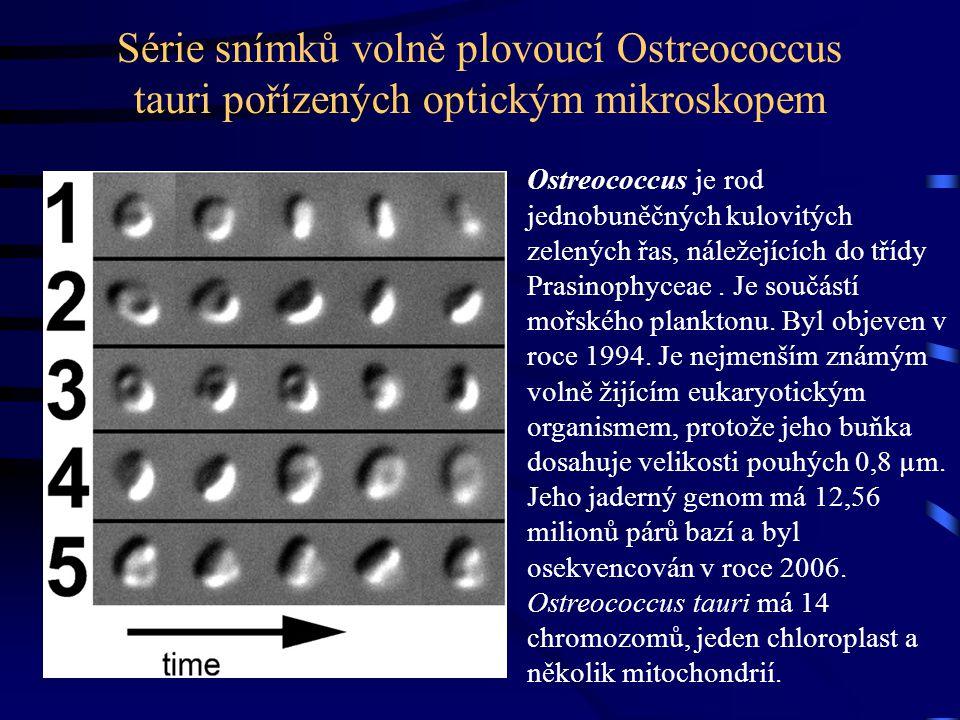 Série snímků volně plovoucí Ostreococcus tauri pořízených optickým mikroskopem Ostreococcus je rod jednobuněčných kulovitých zelených řas, náležejících do třídy Prasinophyceae.