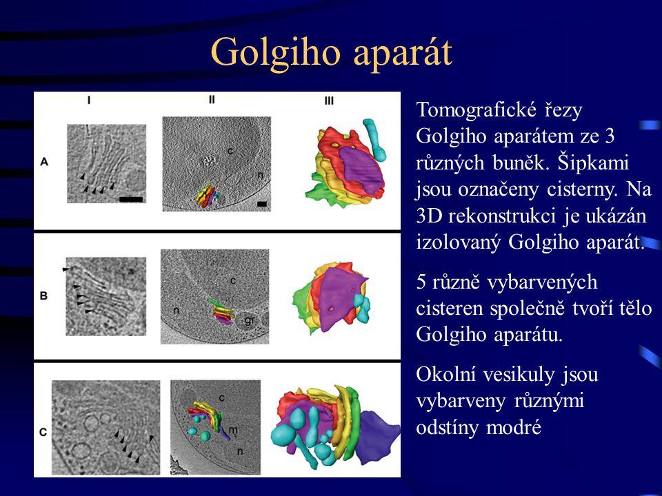 Golgiho aparát Tomografické řezy Golgiho aparátem ze 3 různých buněk.