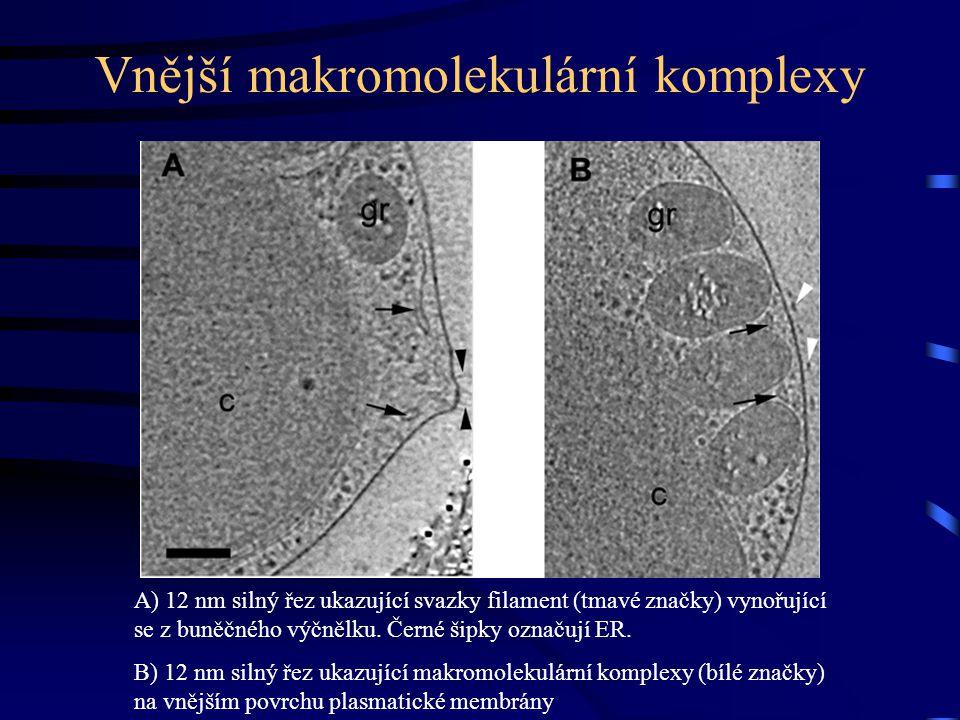 Vnější makromolekulární komplexy A) 12 nm silný řez ukazující svazky filament (tmavé značky) vynořující se z buněčného výčnělku.