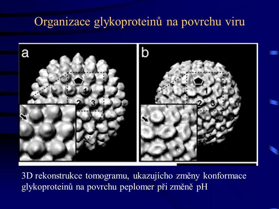 Organizace glykoproteinů na povrchu viru 3D rekonstrukce tomogramu, ukazujícho změny konformace glykoproteinů na povrchu peplomer při změně pH