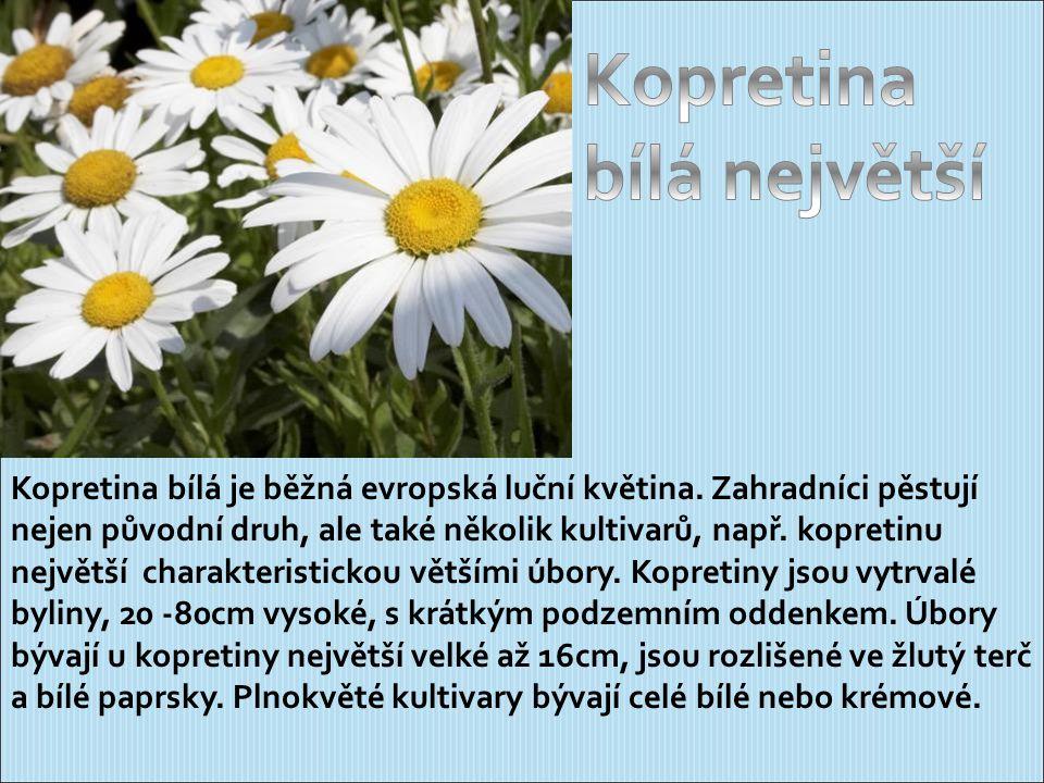 Kopretina bílá je běžná evropská luční květina.