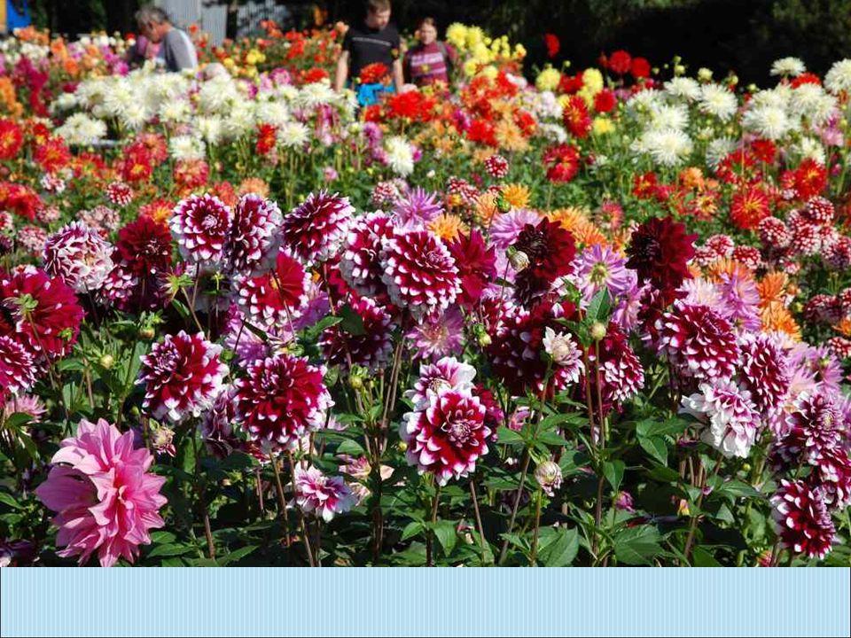 Jiřinka je právem označována jako královna podzimních zahrad.