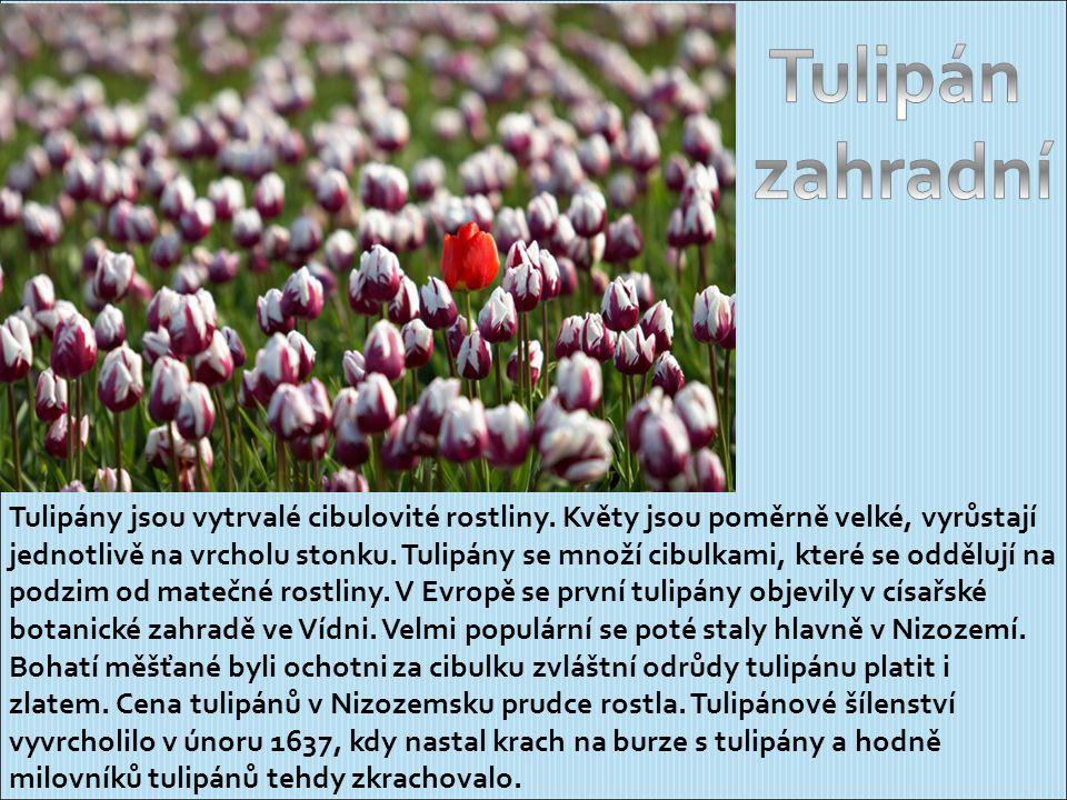 Tulipány jsou vytrvalé cibulovité rostliny.