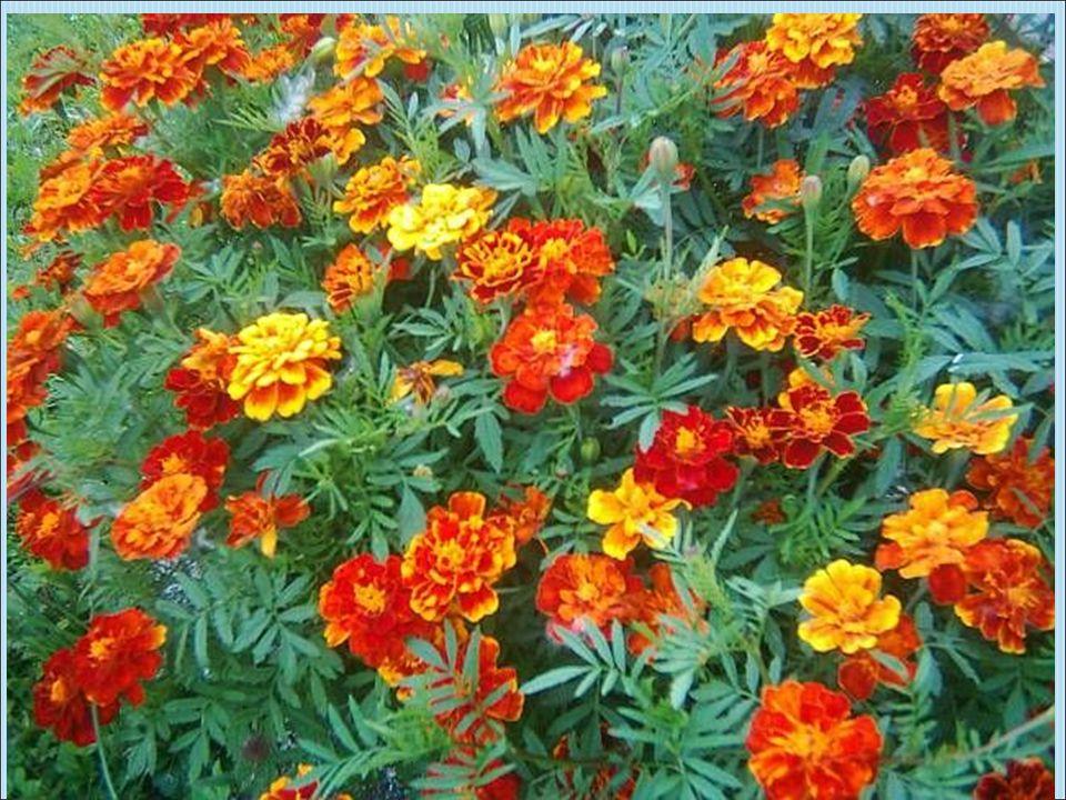 Pěstuje se v řadě odrůd s květy v barvě od bílé až po tmavě červenou, jednotlivé odrůdy se liší i tvarem a velikostí květů.