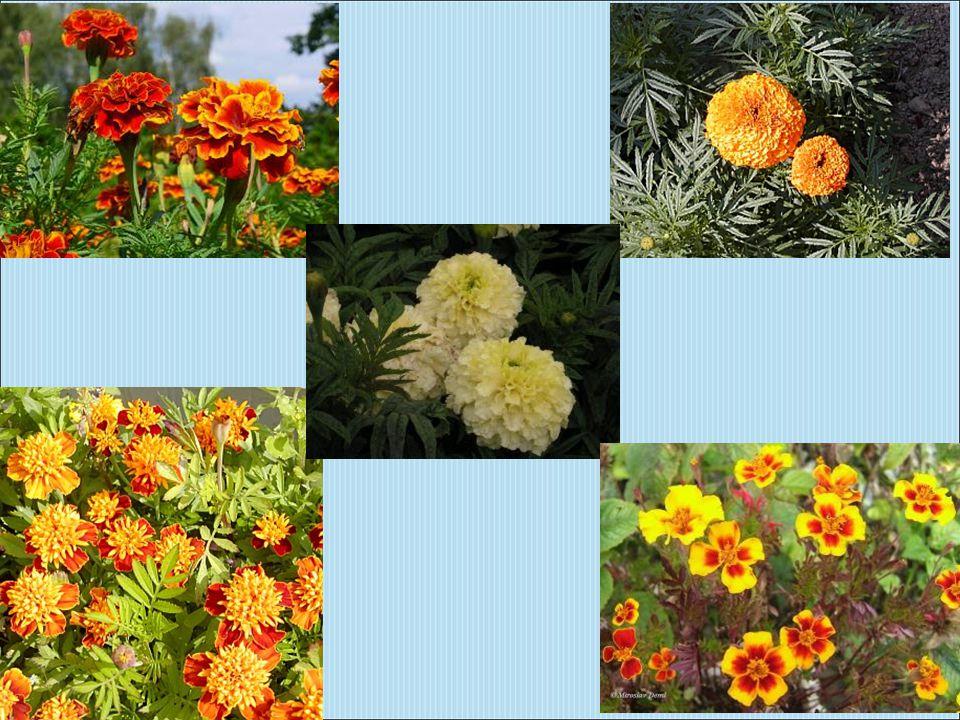 Rod lilie obsahuje několik tisíc odrůd.Jedná se o vytrvalé byliny s cibulemi.