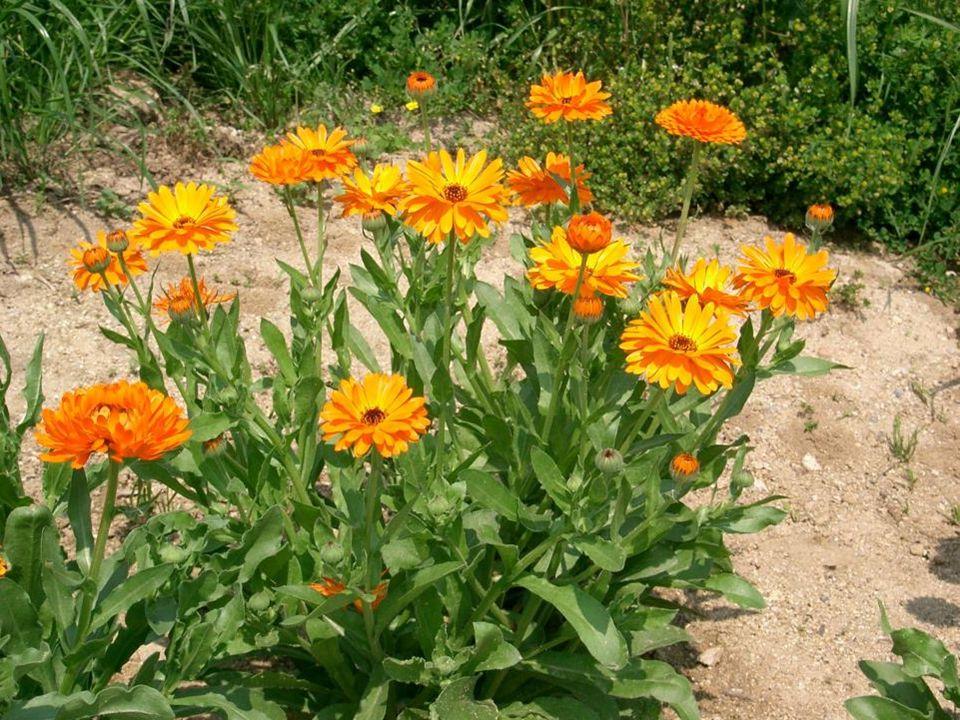 Přibližně 50 cm vysoká letnička, kvete od června do září nejčastěji v oranžové barvě.
