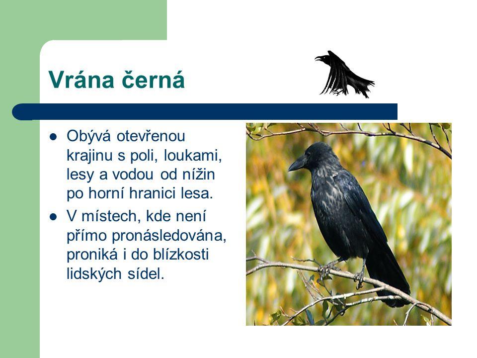 Vrána černá Obývá otevřenou krajinu s poli, loukami, lesy a vodou od nížin po horní hranici lesa. V místech, kde není přímo pronásledována, proniká i