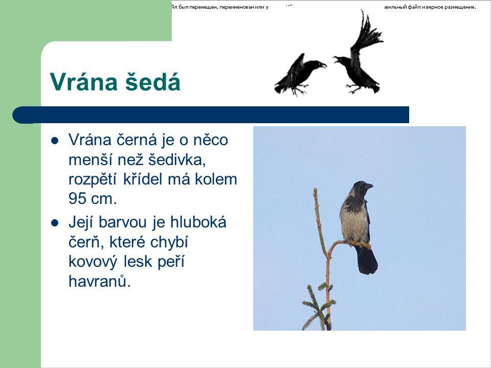 Vrána šedá Vrána černá je o něco menší než šedivka, rozpětí křídel má kolem 95 cm. Její barvou je hluboká čerň, které chybí kovový lesk peří havranů.