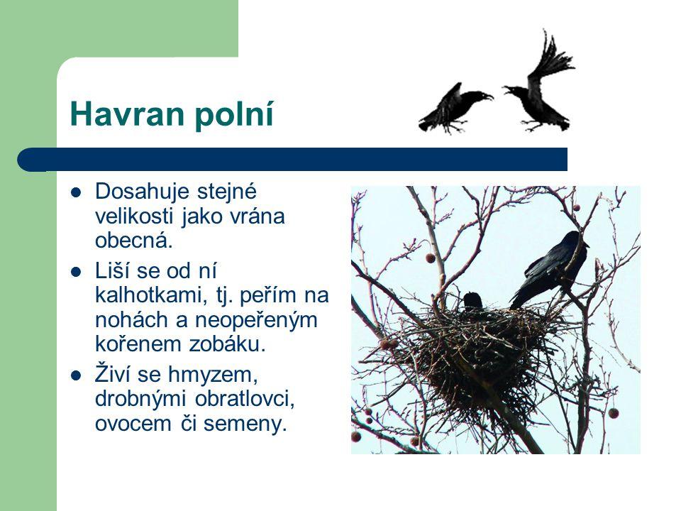 Havran polní Dosahuje stejné velikosti jako vrána obecná. Liší se od ní kalhotkami, tj. peřím na nohách a neopeřeným kořenem zobáku. Živí se hmyzem, d