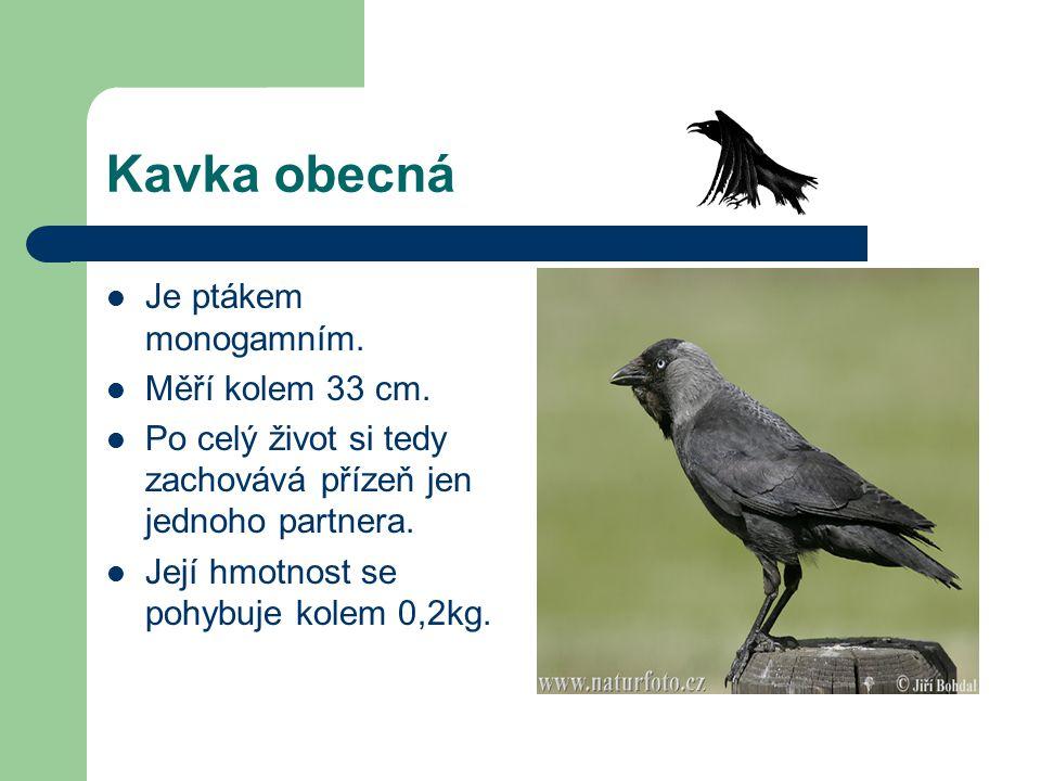 Kavka obecná Je ptákem monogamním. Měří kolem 33 cm. Po celý život si tedy zachovává přízeň jen jednoho partnera. Její hmotnost se pohybuje kolem 0,2k