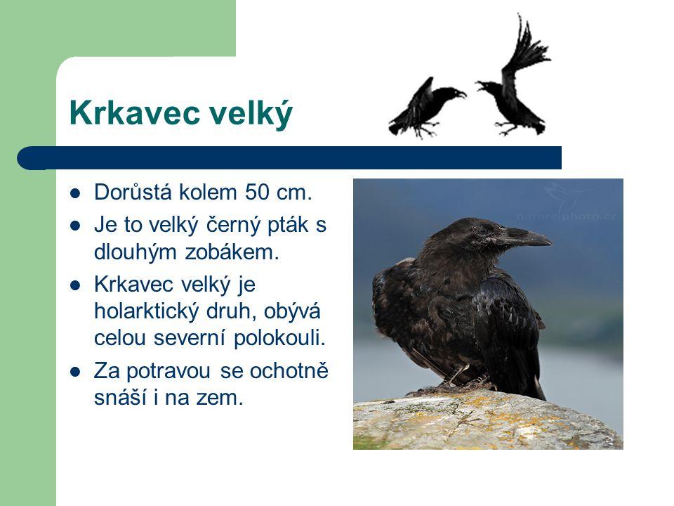 Krkavec velký Dorůstá kolem 50 cm. Je to velký černý pták s dlouhým zobákem. Krkavec velký je holarktický druh, obývá celou severní polokouli. Za potr