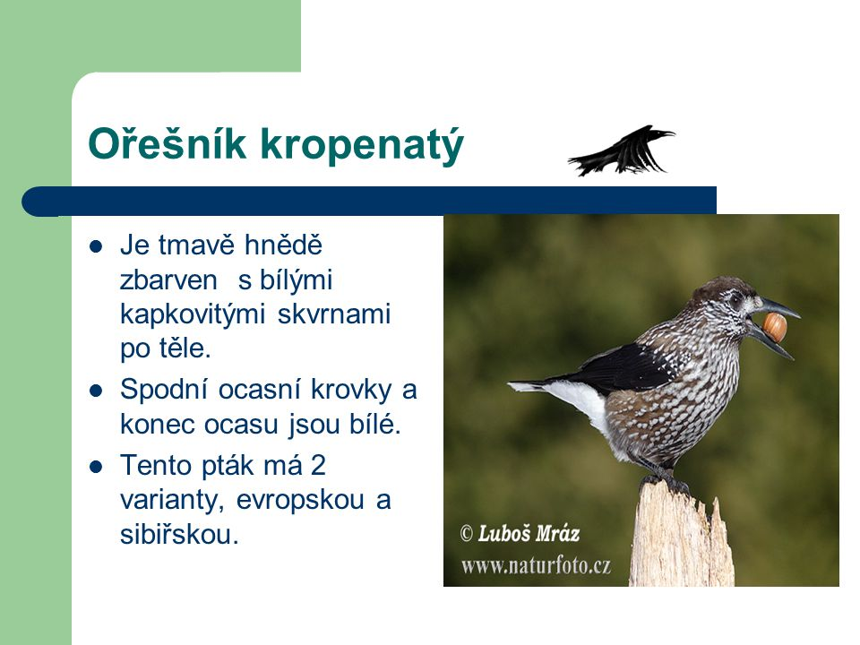 Ořešník kropenatý Je tmavě hnědě zbarven s bílými kapkovitými skvrnami po těle. Spodní ocasní krovky a konec ocasu jsou bílé. Tento pták má 2 varianty
