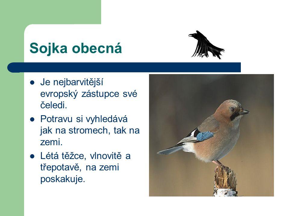 Sojka obecná Je nejbarvitější evropský zástupce své čeledi. Potravu si vyhledává jak na stromech, tak na zemi. Létá těžce, vlnovitě a třepotavě, na ze