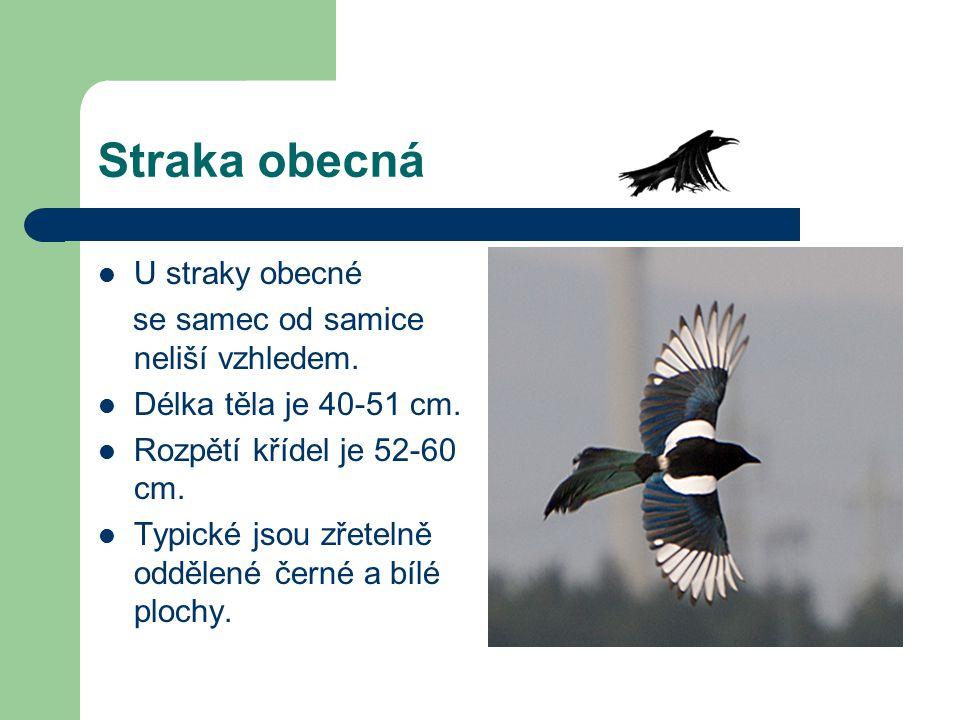 Straka obecná U straky obecné se samec od samice neliší vzhledem. Délka těla je 40-51 cm. Rozpětí křídel je 52-60 cm. Typické jsou zřetelně oddělené č