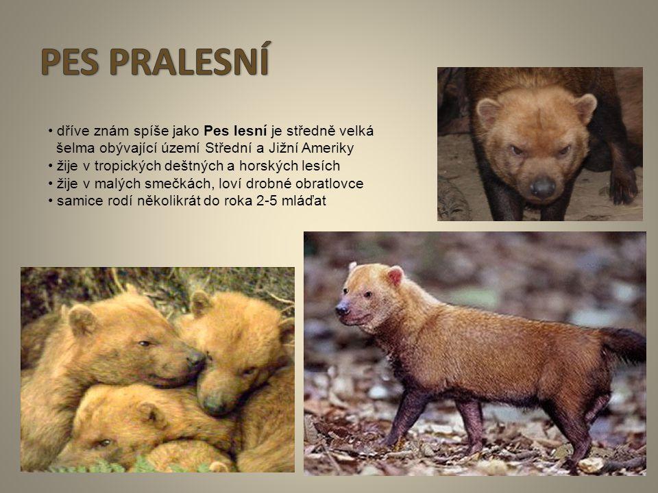 10 dříve znám spíše jako Pes lesní je středně velká šelma obývající území Střední a Jižní Ameriky žije v tropických deštných a horských lesích žije v