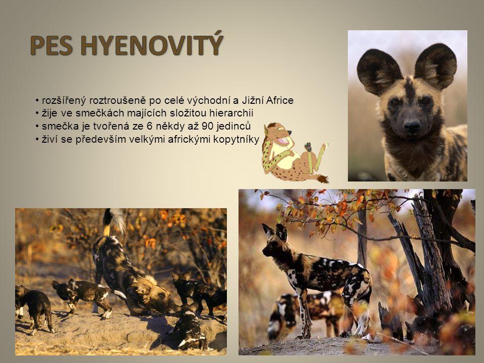 11 rozšířený roztroušeně po celé východní a Jižní Africe žije ve smečkách majících složitou hierarchii smečka je tvořená ze 6 někdy až 90 jedinců živí
