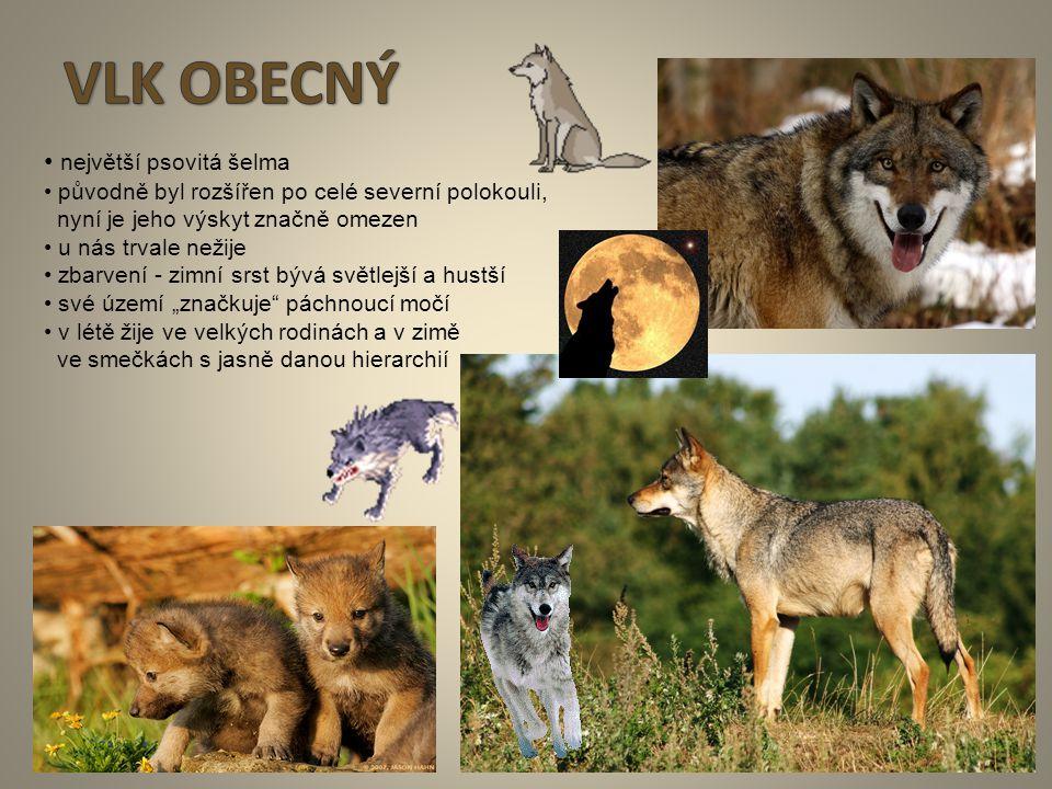 6 největší psovitá šelma původně byl rozšířen po celé severní polokouli, nyní je jeho výskyt značně omezen u nás trvale nežije zbarvení - zimní srst b