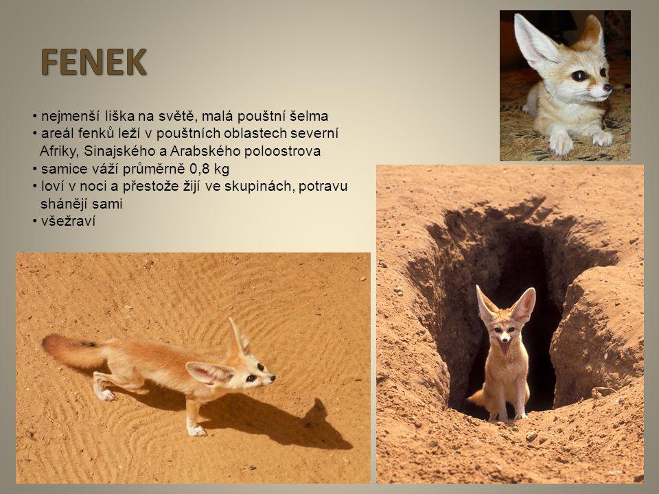 8 nejmenší liška na světě, malá pouštní šelma areál fenků leží v pouštních oblastech severní Afriky, Sinajského a Arabského poloostrova samice váží pr