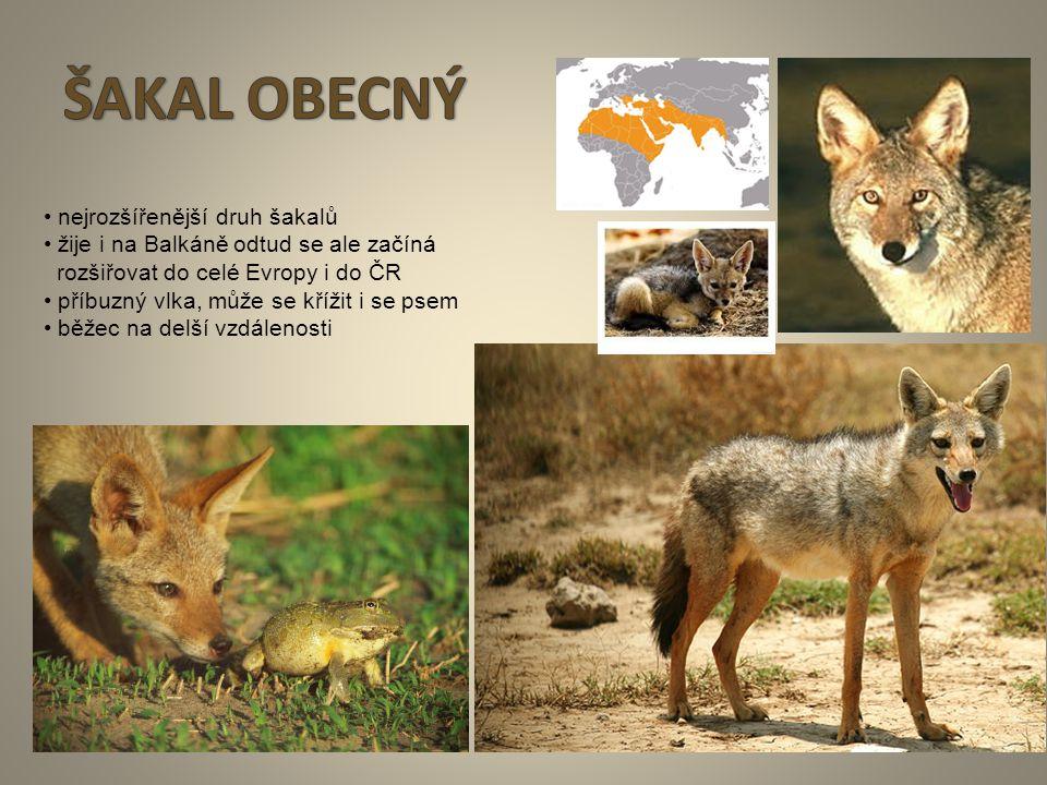 9 nejrozšířenější druh šakalů žije i na Balkáně odtud se ale začíná rozšiřovat do celé Evropy i do ČR příbuzný vlka, může se křížit i se psem běžec na