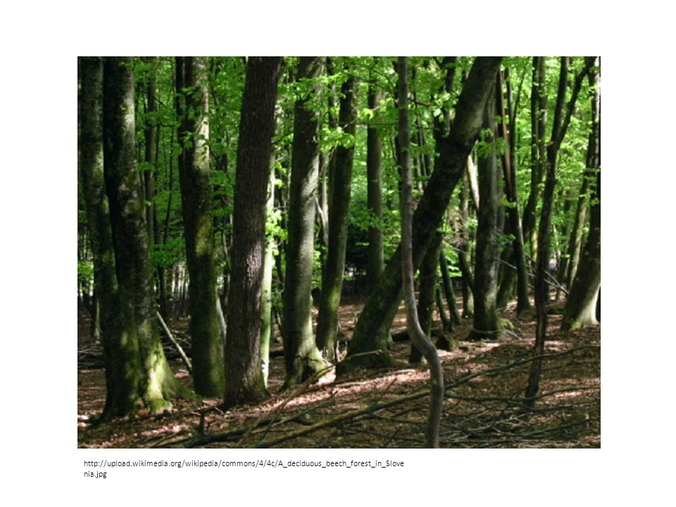 http://upload.wikimedia.org/wikipedia/commons/4/4c/A_deciduous_beech_forest_in_Slove nia.jpg