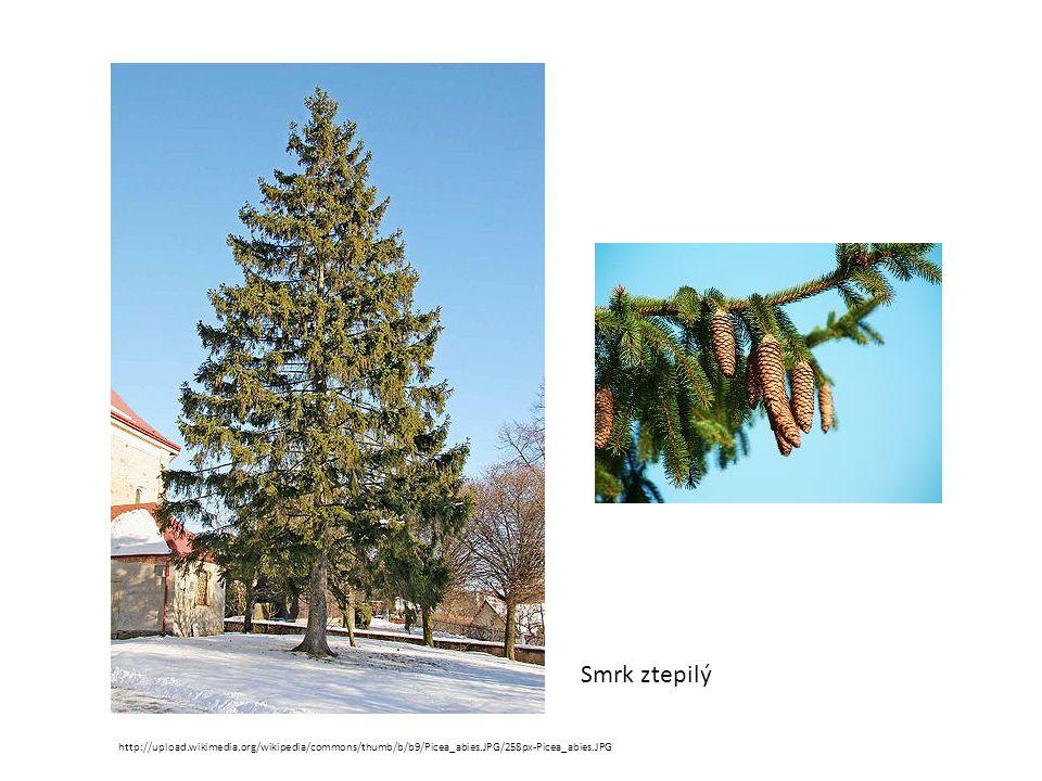 Smrk ztepilý http://upload.wikimedia.org/wikipedia/commons/thumb/b/b9/Picea_abies.JPG/258px-Picea_abies.JPG