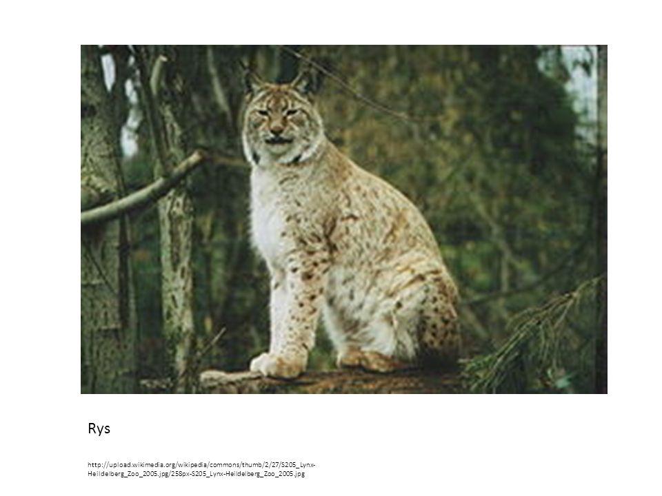 Rys http://upload.wikimedia.org/wikipedia/commons/thumb/2/27/S205_Lynx- Heildelberg_Zoo_2005.jpg/258px-S205_Lynx-Heildelberg_Zoo_2005.jpg