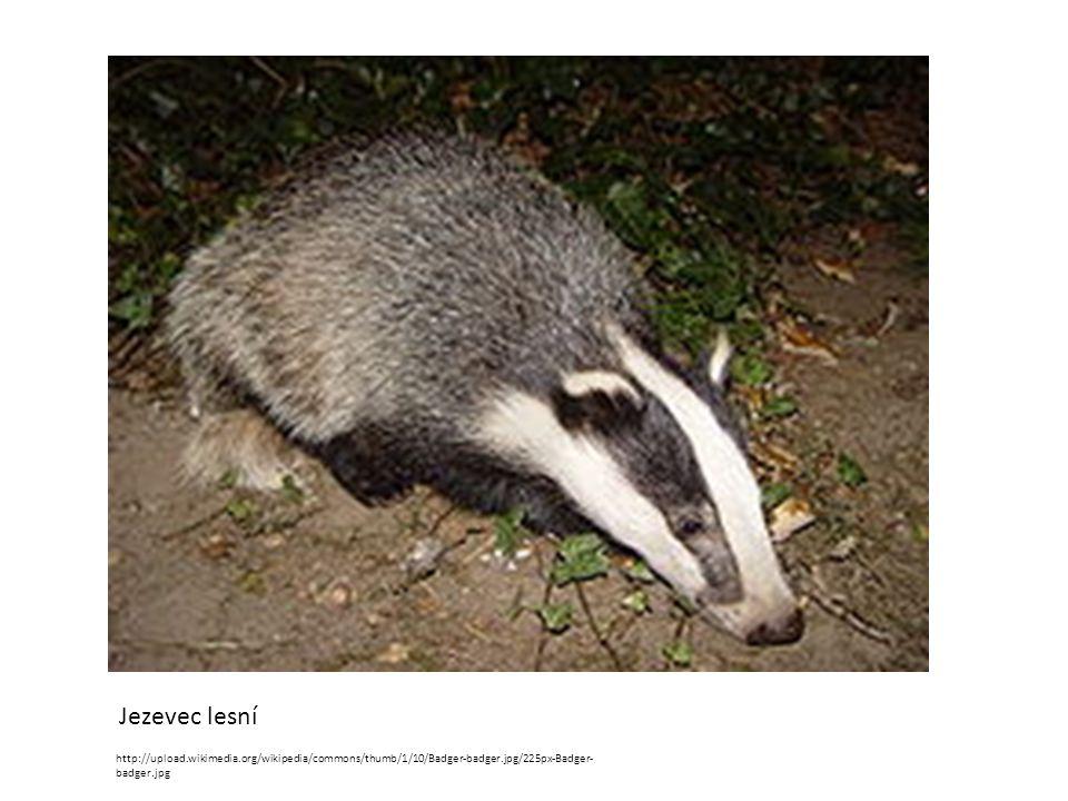 http://upload.wikimedia.org/wikipedia/commons/thumb/1/10/Badger-badger.jpg/225px-Badger- badger.jpg Jezevec lesní