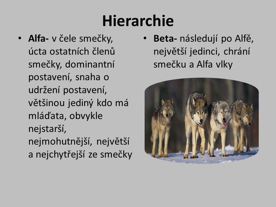 Hierarchie Alfa- v čele smečky, úcta ostatních členů smečky, dominantní postavení, snaha o udržení postavení, většinou jediný kdo má mláďata, obvykle nejstarší, nejmohutnější, největší a nejchytřejší ze smečky Beta- následují po Alfě, největší jedinci, chrání smečku a Alfa vlky