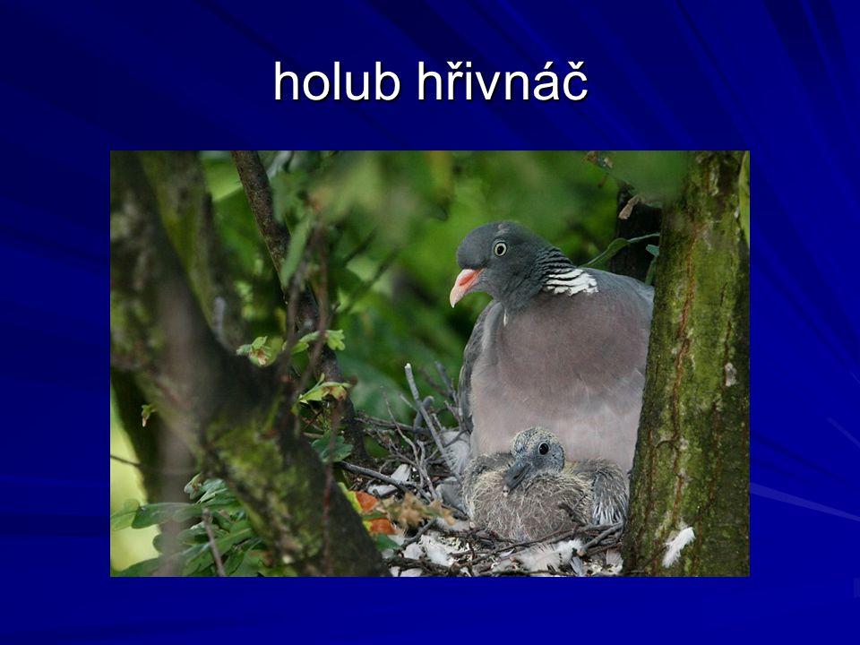holub hřivnáč