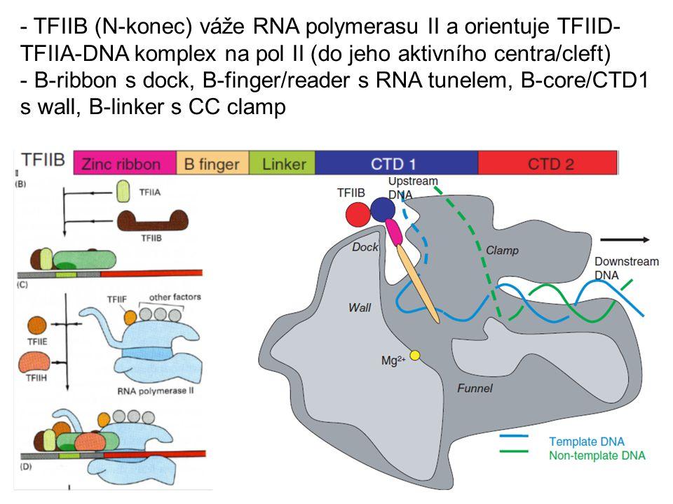 - TFIIB (N-konec) váže RNA polymerasu II a orientuje TFIID- TFIIA-DNA komplex na pol II (do jeho aktivního centra/cleft) - B-ribbon s dock, B-finger/r