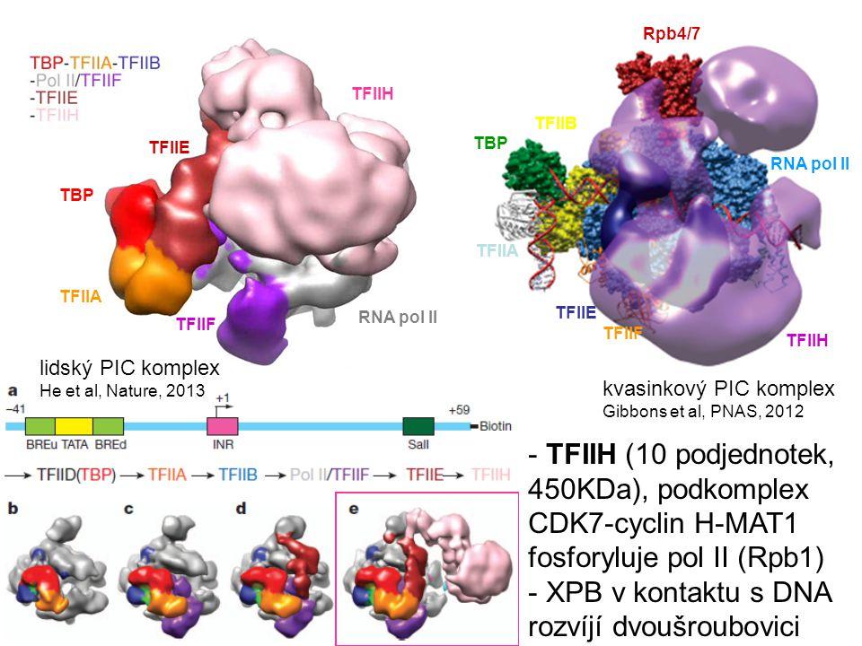 TFIIB Rpb4/7 RNA pol II TFIIE TFIIF TFIIH kvasinkový PIC komplex Gibbons et al, PNAS, 2012 lidský PIC komplex He et al, Nature, 2013 TBP TFIIA TFIIE T