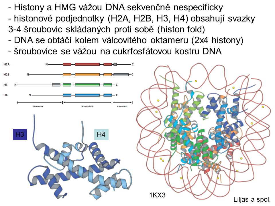 - Histony a HMG vážou DNA sekvenčně nespecificky - histonové podjednotky (H2A, H2B, H3, H4) obsahují svazky 3-4 šroubovic skládaných proti sobě (histo