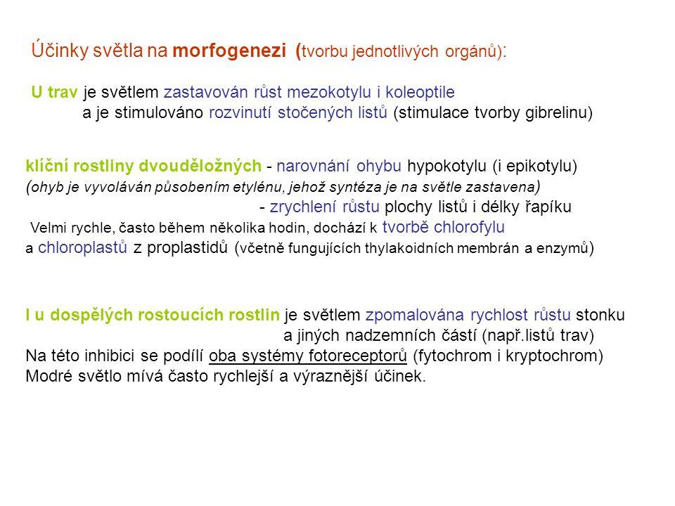 Účinky světla na morfogenezi ( tvorbu jednotlivých orgánů) : U trav je světlem zastavován růst mezokotylu i koleoptile a je stimulováno rozvinutí stočených listů (stimulace tvorby gibrelinu) klíční rostliny dvouděložných - narovnání ohybu hypokotylu (i epikotylu) ( ohyb je vyvoláván působením etylénu, jehož syntéza je na světle zastavena ) - zrychlení růstu plochy listů i délky řapíku Velmi rychle, často během několika hodin, dochází k tvorbě chlorofylu a chloroplastů z proplastidů ( včetně fungujících thylakoidních membrán a enzymů ) I u dospělých rostoucích rostlin je světlem zpomalována rychlost růstu stonku a jiných nadzemních částí (např.listů trav) Na této inhibici se podílí oba systémy fotoreceptorů (fytochrom i kryptochrom) Modré světlo mívá často rychlejší a výraznější účinek.