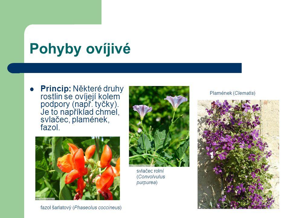 Pohyby ovíjivé Princip: Některé druhy rostlin se ovíjejí kolem podpory (např. tyčky). Je to například chmel, svlačec, plamének, fazol. svlačec rolní (
