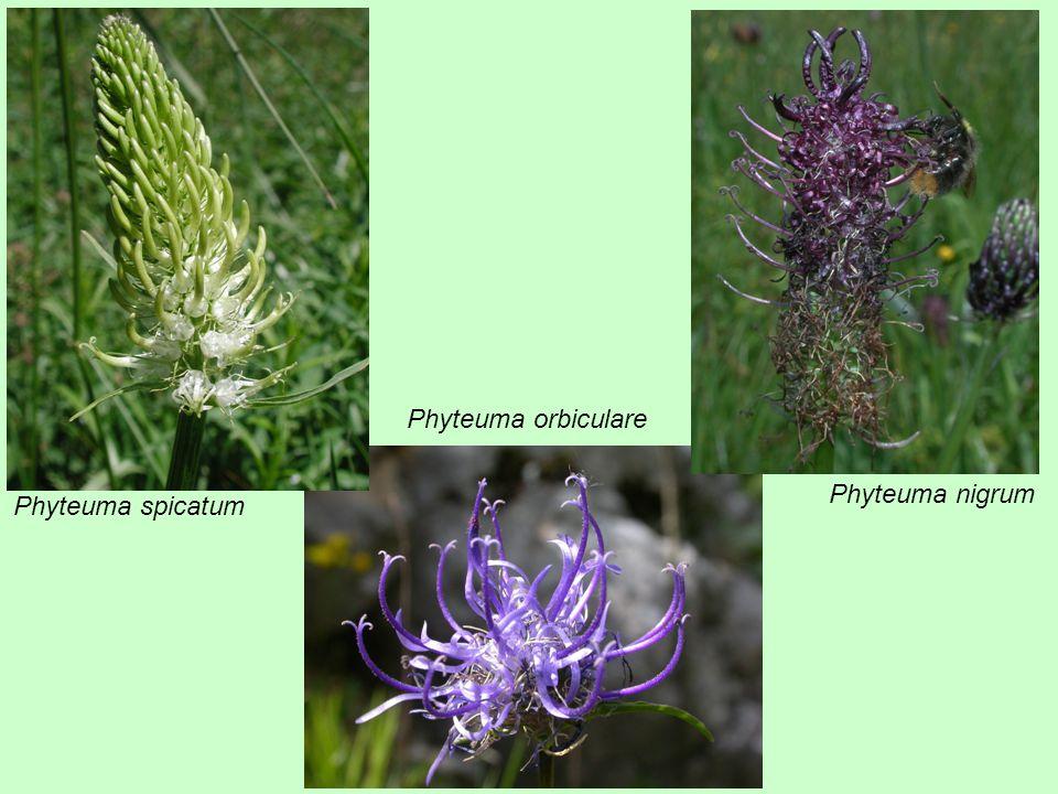 Phyteuma spicatum Phyteuma orbiculare Phyteuma nigrum