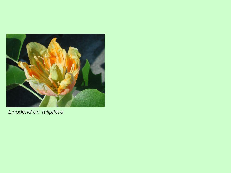 Liriodendron tulipifera