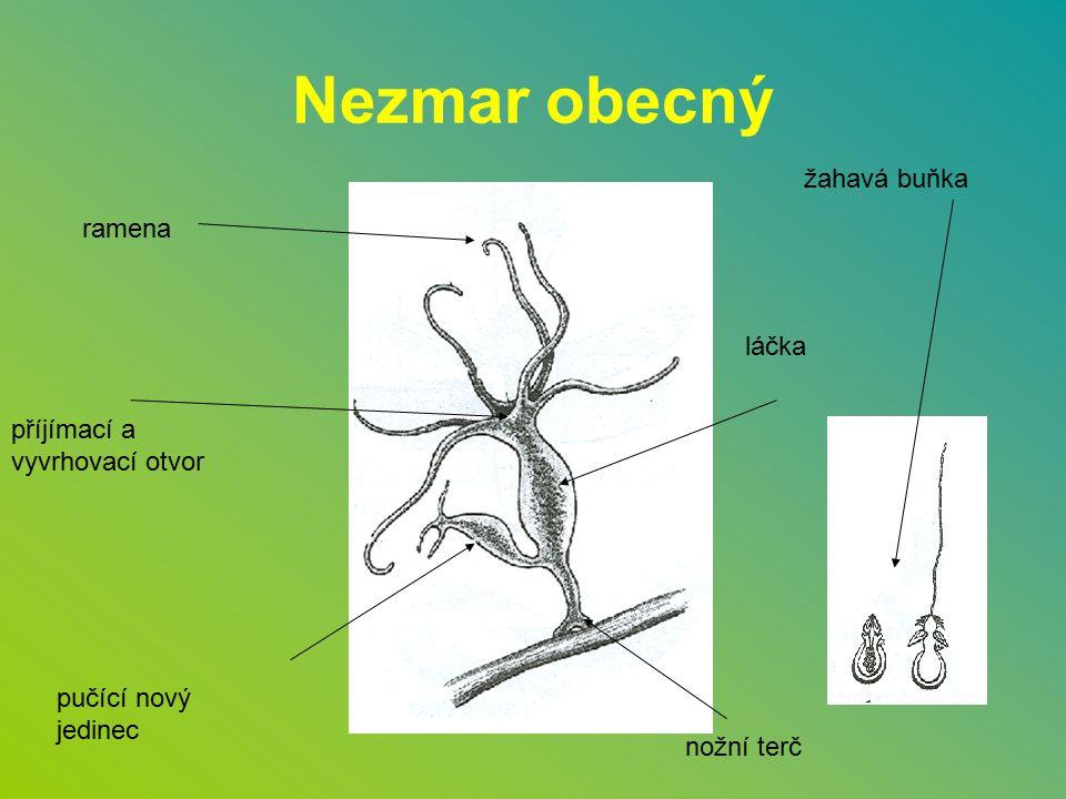 Nezmar obecný stojaté, mírně tekoucí vody potřebuje dostatek kyslíku ve vodě válcovité tělo 1 – 1,5 cm k podkladu se přichytává nožním terčem má 6 – 7 ramen se žahavými buňkami živí se planktonem tráví v trávicí dutině nazvané láčka dýchá celým povrchem těla, vylučuje taktéž celým povrchem těla má rozptýlenou nervovou soustavu ( síť ) rozmnožuje se pohlavně i nepohlavně, je to obojetník má schopnost regenerace